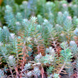 Stock Photo: Sedum album