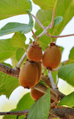 Kiwifruit ripen — Stock Photo