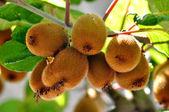 Hairy kiwi fruit — Stock Photo