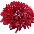 Flower of pink chrysanthemum isolated on white background — Stock Photo