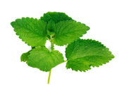 Green mint. Isolated over white — Stock Photo