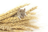 Mouse on wheat — Stock Photo