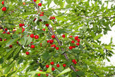 Cherry tree with ripe cherries in the garden. — Stock Photo
