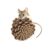 Mouse and cedar — Stock Photo
