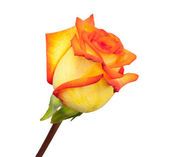 Fresh orange roses on a white background — Stock Photo