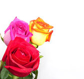 Beautiful three roses on white background with space for copy. — Stock Photo