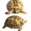 Two turtles on a white background - Stock Photo