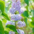 Lilacs on nature — Stock Photo #11924239