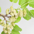 White mulberry - Stock Photo