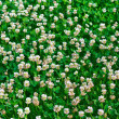 Stock Photo: White clover (Trifolium repens)
