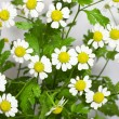 Camomile — Stock Photo #11925858