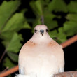 Dove at night — Stock Photo