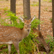 Child of the red deer in wood . Bandhavgarh. India. - Stockfoto