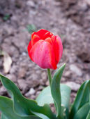 Tulip. — Stock Photo