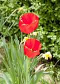 Two red tulip flowers on green field — ストック写真