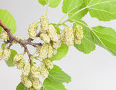 White mulberry — Stock Photo