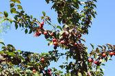 Отличные плоды дерева сливы — Стоковое фото