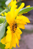 Bee on sunflower — 图库照片