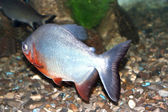 Piranha fish — Stockfoto