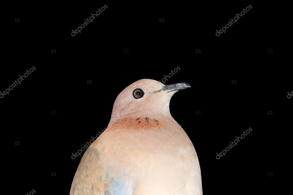 Dove on a black background — Stock Photo #11926602