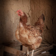 Stock Photo: Portrait of chicken