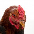 Cock portrait on a white background — Stock Photo #12183578