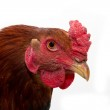 Cock portrait on a white background — Stock Photo #12183628