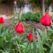 Beautiful red tulips on the nature - Photo