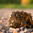 Manure of a horse with flies on the nature - Stock Photo