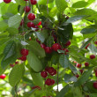 Fresh cherries on the tree - Stock Photo
