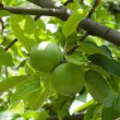 Two green apples on branch - Stock Photo