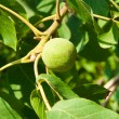 Green walnut growing on a tree close up - Stock Photo