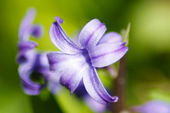 The bellflowers close up. — Stock Photo