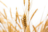 Wheat as the background — Stock Photo