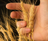 Wheat in a hand on a black background — Stock Photo