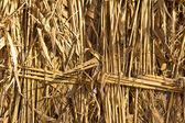 Yellow reeds in the background — Stock Photo