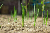 Young leaves of onions on the earth — Stockfoto