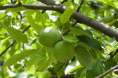 Two green apples on branch — Stock Photo