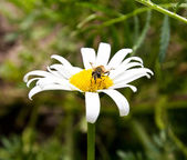 The bee on a camomile collects honey — Stock Photo