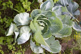 Cabbages in the garden — Stok fotoğraf
