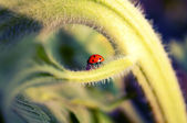 Ladybug on sunflower — Stock Photo