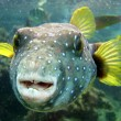 Pufferfish - Stock Photo