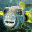 Stock Photo: Pufferfish