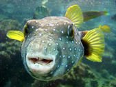Pufferfish — Stock Photo