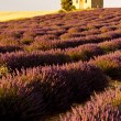Chapel with lavender field, Plateau de Valensole, Provence, Fran - Stock Photo
