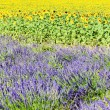 Lavender and sunflower fields, Provence, France — Stock Photo #10765586