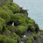Sea birds, Loop Head, County Clare, Ireland — Stock Photo #10822475