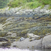 Seals, Bantry Bay, County Cork, Ireland — Stock Photo