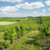 Vineyard, Palava, Czech Republic — Stock Photo