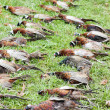 Excludes of caught pheasants - 